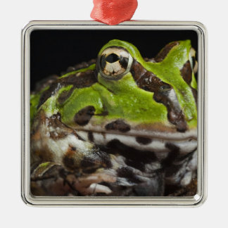 Pacific Horned Frog Ceratophrys stolzmanni) Christmas Ornament