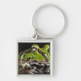 Pacific Horned Frog Ceratophrys stolzmanni) Key Ring