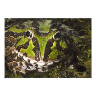 Pacific Horned Frog Ceratophrys stolzmanni) Photograph