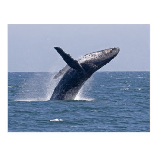 Pacific Humpback Whale Post Card