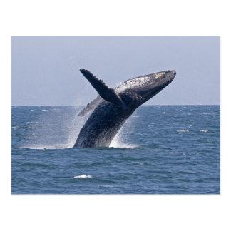 Pacific Humpback Whale... Postcard