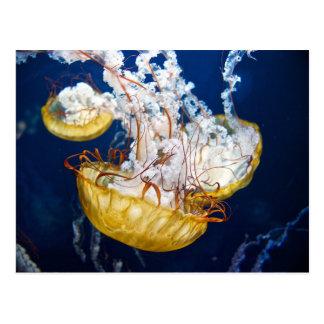Pacific Sea Nettle (Chrysaora fuscescens) Postcard