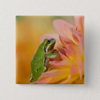 Pacific tree frog on flowers in our garden, 2 15 cm square badge