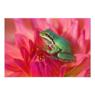 Pacific tree frog on flowers in our garden, 2 photo art