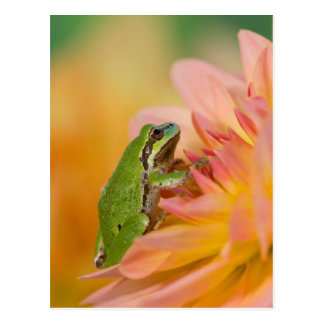Pacific tree frog on flowers in our garden, 2 postcard