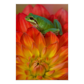 Pacific tree frog on flowers in our garden, 2 poster