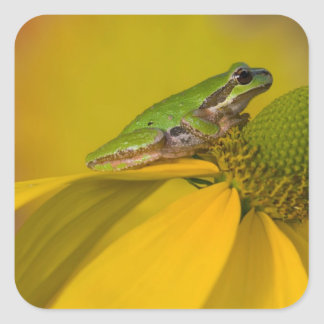 Pacific tree frog on flowers in our garden, 2 square sticker