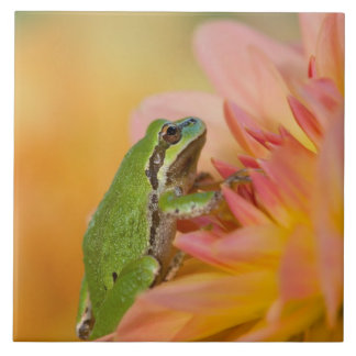 Pacific tree frog on flowers in our garden, 2 tile