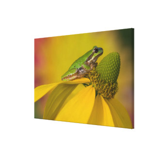 Pacific tree frog on flowers in our garden, 3 canvas print