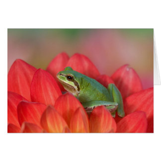 Pacific tree frog on flowers in our garden, 3 card
