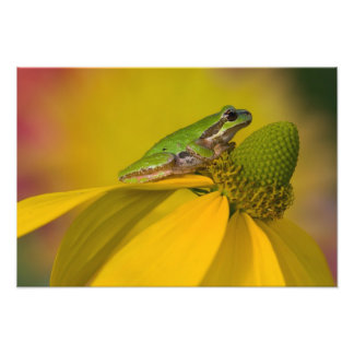 Pacific tree frog on flowers in our garden, 3 photographic print