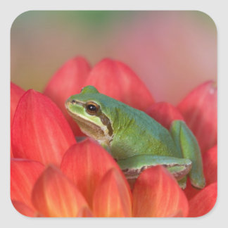 Pacific tree frog on flowers in our garden, 3 square sticker