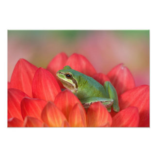 Pacific tree frog on flowers in our garden, 4 art photo