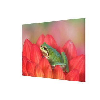 Pacific tree frog on flowers in our garden, 4 canvas print