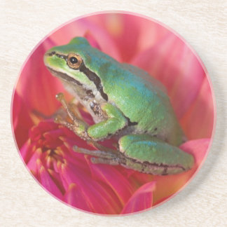 Pacific tree frog on flowers in our garden, 4 coaster