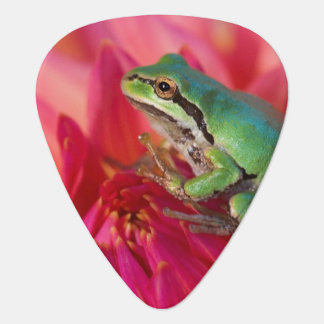 Pacific tree frog on flowers in our garden, 4 guitar pick