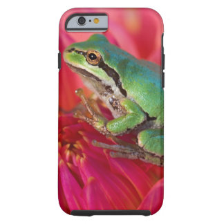 Pacific tree frog on flowers in our garden, 4 tough iPhone 6 case