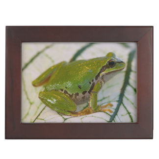 Pacific tree frog on flowers in our garden, keepsake box