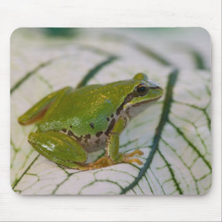Pacific tree frog on flowers in our garden, mouse mat