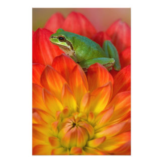 Pacific tree frog on flowers in our garden photographic print