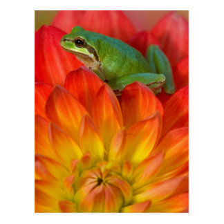 Pacific tree frog on flowers in our garden, postcard