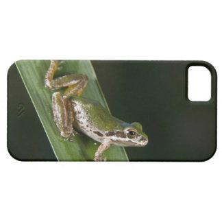 Pacific Tree Frog (Pseudacris regilla) iPhone 5 Cases