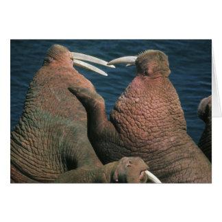 Pacific Walrus Odobenus rosmarus) Males 2 Card