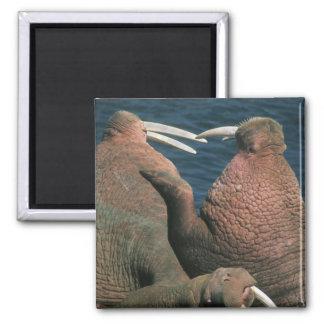 Pacific Walrus Odobenus rosmarus) Males 2 Magnet
