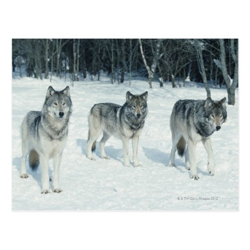 Pack of wolves at edge of snowy forest postcards