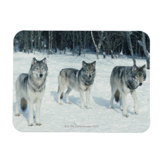 Pack of wolves at edge of snowy forest rectangular photo magnet