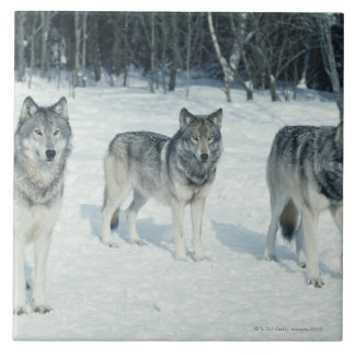 Pack of wolves at edge of snowy forest tile