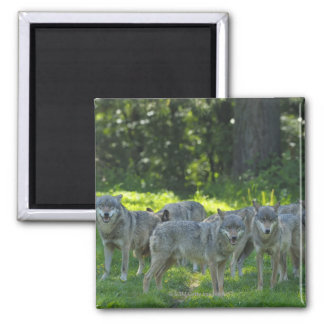 Pack of Wolves, Germany Square Magnet