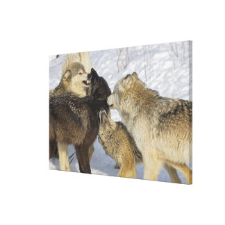 Pack of wolves interacting canvas print