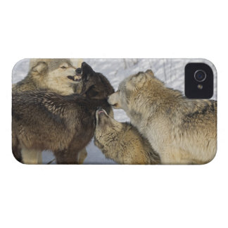 Pack of wolves interacting iPhone 4 case