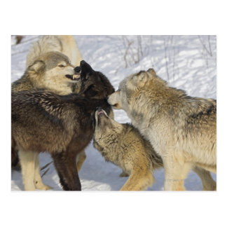 Pack of wolves interacting postcard