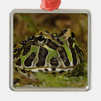 Pacman frog, Ceratophrys cranwelli or South Christmas Ornament