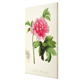Paeonia Moutan, c.1799 Canvas Print