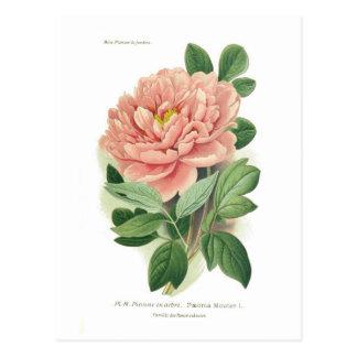 Paeonia moutan (Peony) Postcard
