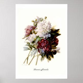 Paeonia officinalis poster