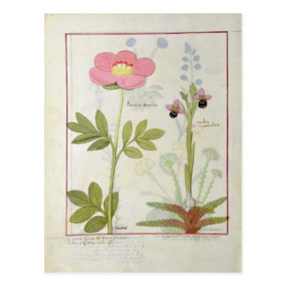 Paeonia or Peony, and Orchis myanthos Postcard