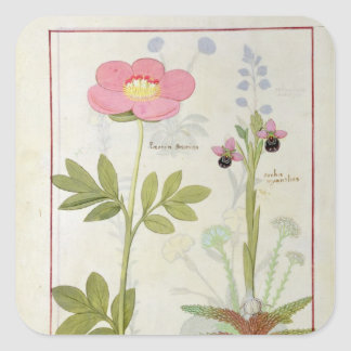Paeonia or Peony, and Orchis myanthos Square Sticker
