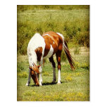 Paint Horse Postcards