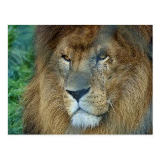 Paint Lion (lion) Postcard