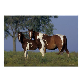 Paint Mare & Foal Poster