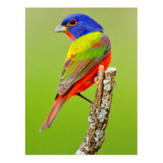 Painted Bunting (Passerina ciris) Male Perched Postcard