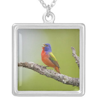 Painted Bunting Passerina ciris) male singing Silver Plated Necklace