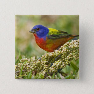 Painted Bunting Passerina citria) adult male 15 Cm Square Badge