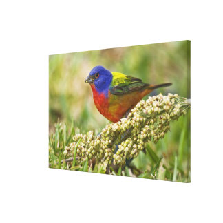 Painted Bunting Passerina citria) adult male Canvas Print