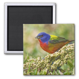 Painted Bunting Passerina citria) adult male Fridge Magnets