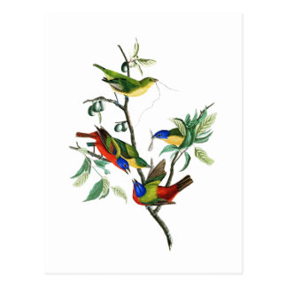 Painted Finch John James Audubon Birds of America Postcard
